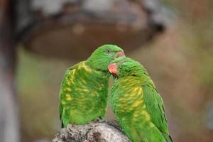 pappagalli foto