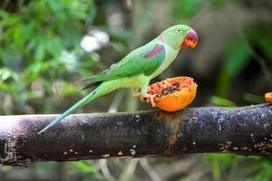 bellissimo uccello verde pappagallo eclectus foto