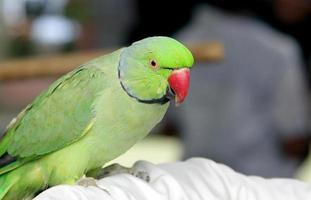 bellissimo pappagallo verde foto