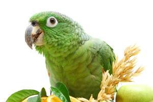 pappagallo amazon farinoso che mangia sul bianco foto