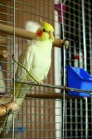 pappagallo di Cockatiel sfacciato foto
