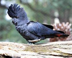 Cacatua nero dalla coda rossa (calyptorhynchus banksii)