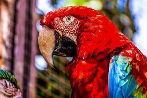 primo piano rosso del pappagallo di cacatua ara o ara