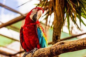 pappagallo di cacatua rosso ara o ara foto
