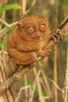 tarsier seduto su un albero, isola di bohol, filippine foto
