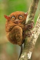 tarsier seduto su un albero, isola di bohol, filippine