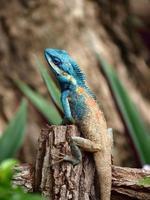 camaleonte arrampicata su legno foto