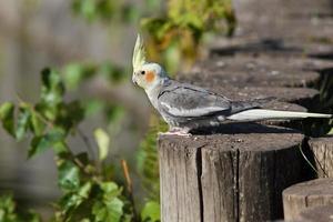 Cockatiel, cacatua pappagallo, quarrion, weero foto