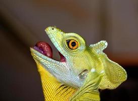 fuoco selettivo del camaleonte capo sull'occhio