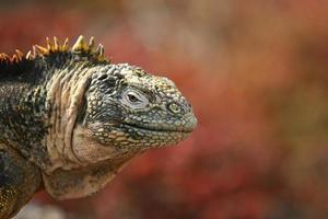 iguana marina, isole galapagos