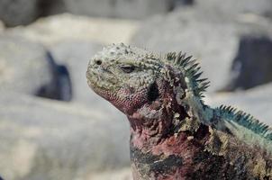 iguana marina delle galapagos foto