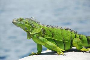 iguana verde lampeggia lingua