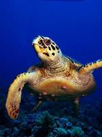 tartaruga embricata