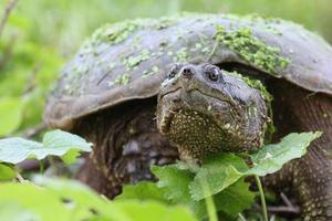 tartaruga a scatto foto