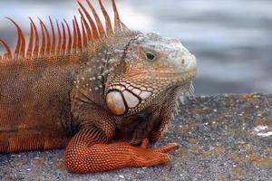 Iguana maschio arancione brillante foto