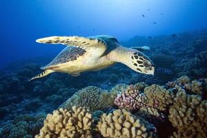 tartaruga di mare Hawkbill foto