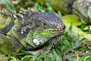 grande iguana