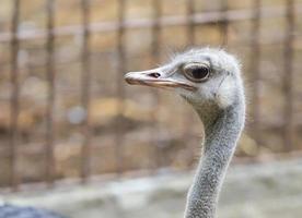 contatto visivo dallo struzzo nello zoo foto