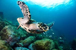 tartaruga embricata foto