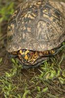 alabama box turtle 2 - terrapene carolina foto