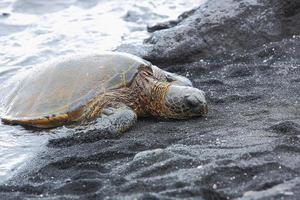bellissima tartaruga verde in via di estinzione foto