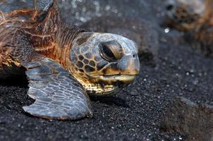 grande isola tartaruga marina foto