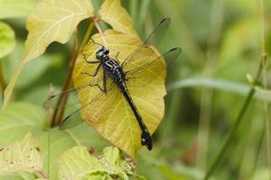 libellula cobra clubtail foto