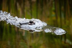testa di alligatore americano appena sotto l'acqua con canne riflesse