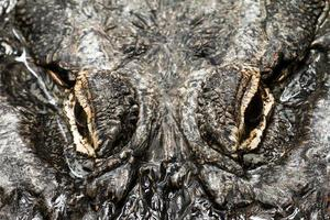 occhi di alligatore foto