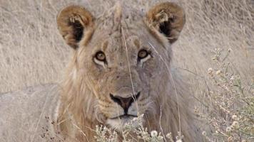 Namibia Parco Etosha Leone