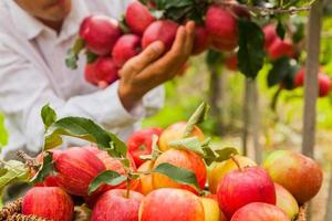 insieme delle mele sul lago di Costanza Germania