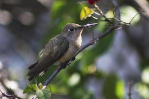 colibri, venezuela foto