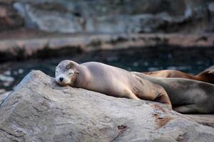 leone marino che dorme foto