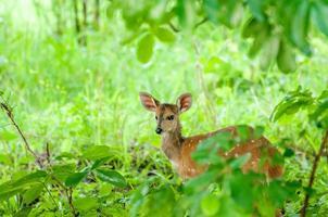 bushbuck in ispessito foto