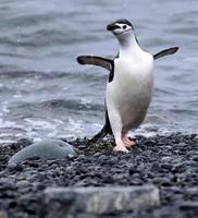 pinguino danzante sottogola
