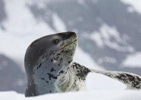 foca leopardo su un lastrone di ghiaccio