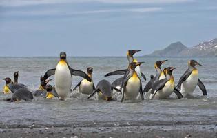 pinguini reali che arrivano a riva foto