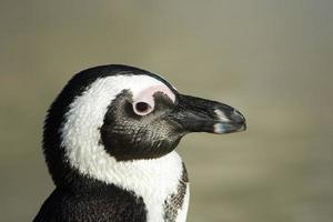 ritratto di pinguino africano foto