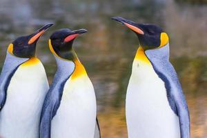 pinguini imperatore (aptenodytes forsteri)