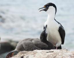 shags antartico dagli occhi azzurri e il pulcino sul nido.
