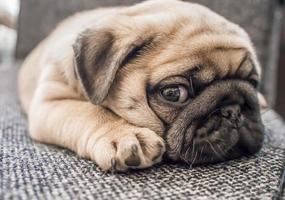 cucciolo di cane pug