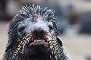 foca nordica, colpo alla testa, isola tyuleniy, siberia foto