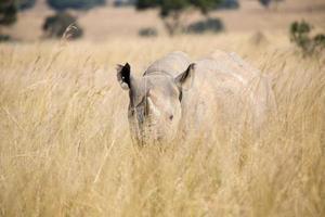 rinoceronte in zimbabwe, africa