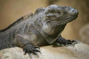 iguana rinoceronte foto