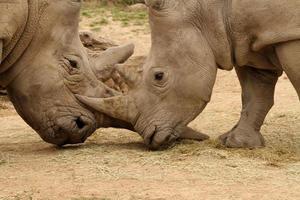 battaglia di rinoceronte bianco 10 foto