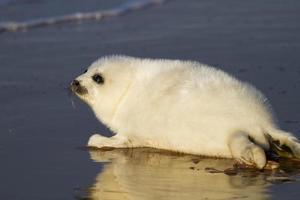 cucciolo di foca sulla spiaggia