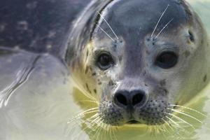 giovane faccia di foca foto
