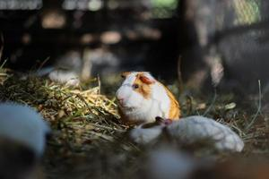 porcellino d'India foto