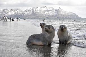 paradiso delle foche di pelliccia foto