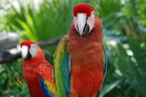 coppia di pappagalli foto